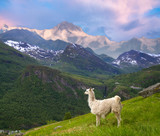 llamas in the mountains. - 225836512