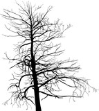 old large bare isolated tree black silhouette