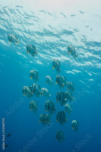 School of Platax teira, Longfin Bathfish, found in Similan Island, Thailand 2018.