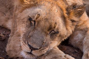 Lion cubs at Zambezi National Park, Zimbabwe