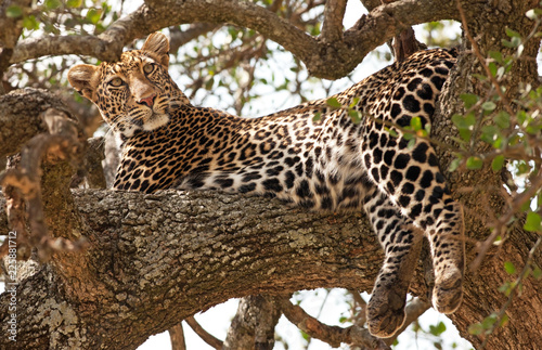 Fototapeta Leopard in the Maasai Mara National Park, Kenya