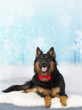 Bohemian shepherd dog with a bow and a snowy background. Christmas concept dog wallpaper. - 225889308