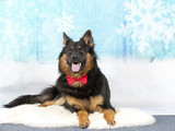 Christmas dog concept image. Dog wearing a bow with a snowy background. - 225889910