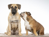 Bulldog is whispering to the puppy. Two funny dogs as a team. Bulldog and Dogo Canario puppy.  - 225891914