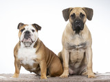 Two funny dogs as a team. Bulldog and Dogo Canario puppy.  - 225891956