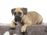 Dogo Canario puppy dog portrait. Image taken in a studio with white background. - 225893546