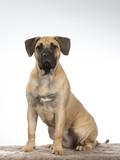 Dogo Canario puppy dog portrait. Image taken in a studio with white background. - 225893597