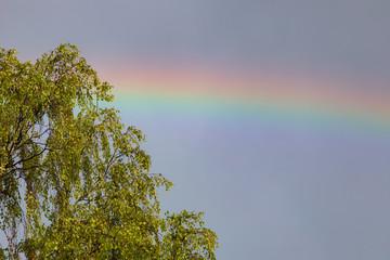Rainbow and birch tree after rain sunlight