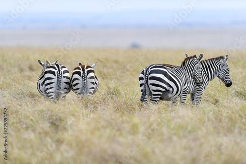 herd of zebra - 225894752