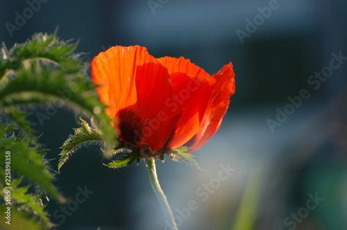red poppy flower - 225898358