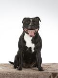American staffordshire terrier dog portrait. Image taken in a studio. - 225917333