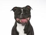 American staffordshire terrier dog portrait. Image taken in a studio. - 225917354
