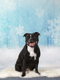 Christmas dog concept image. American staffordshire terrier portrait in a studio with a snowy background. - 225918341