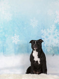 Christmas dog concept image. American staffordshire terrier portrait in a studio with a snowy background. - 225918375