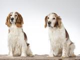 Welsh Springer Spaniel dog portrait, image taken in a studio with white background - 225920995