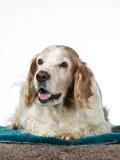 Welsh Springer Spaniel dog portrait, image taken in a studio with white background - 225921150