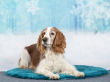 Christmas dog concept image, Welsh Springer spaniel dog with a snowy xmas background. - 225922113
