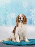 Christmas dog concept image, Welsh Springer spaniel dog with a snowy xmas background. - 225922134