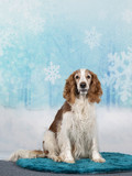 Christmas dog concept image, Welsh Springer spaniel dog with a snowy xmas background. - 225922152