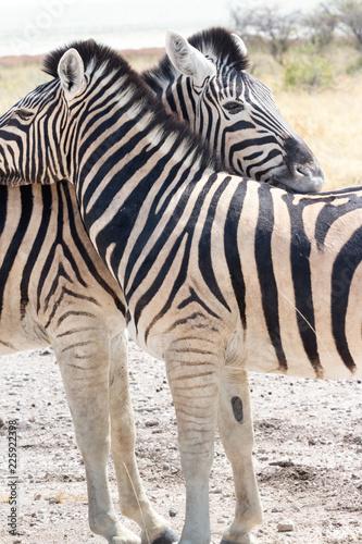 Africa: Namibia etosha - 225922398