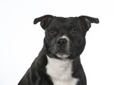 Amstaff dog portrait. Image taken in a studio, isolated on white. - 225923736