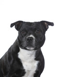 Amstaff dog portrait. Image taken in a studio, isolated on white. - 225923774