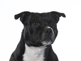 Amstaff dog portrait. Image taken in a studio, isolated on white. - 225923789