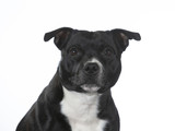 Amstaff portrait with a white background, isolated on white. - 225925560