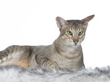 Greeneyed cat isolated on white. Image taken in a studio. - 225926541