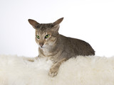 Greeneyed cat isolated on white. Image taken in a studio. - 225926582