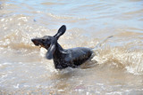 Dachshund shakes and  swimming in the sea with stick