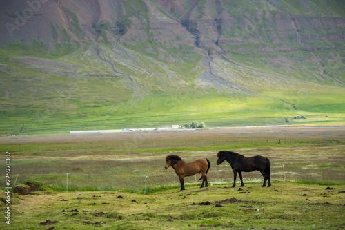 Beautiful of Icelandic horse in Iceland.