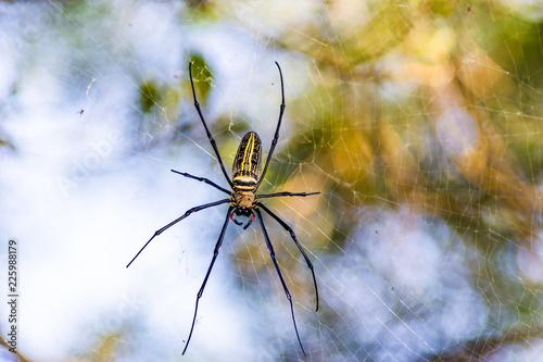 Nephila Maculata spider in Hong Kong