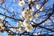 梅の花 白 とちぎ - 226011337