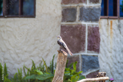 Foto Murales Tropical mockingbird (Mimus gilvus) near Atitlan lake, Guatemala