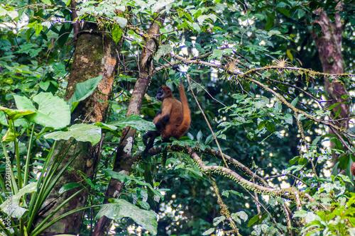 Fototapeta Geoffroy's spider monkey (Ateles geoffroyi) in Tortuguero National Park, Costa Rica