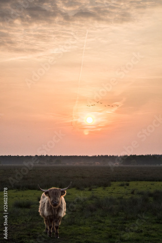 Dutch cow at sunset in national park