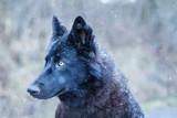 Wolfshund Luna