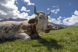 Glückliche Kuh auf der Seiser Alm in Südtirol