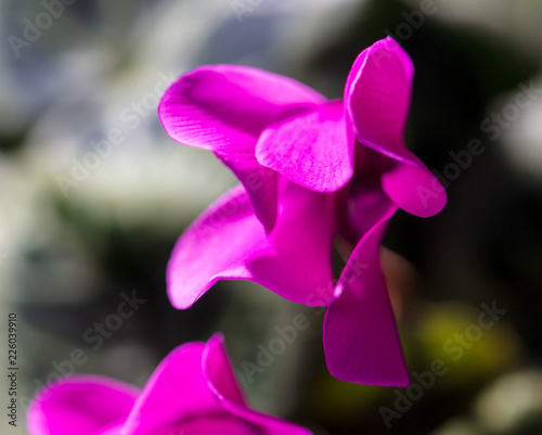 Flower petals on nature as background - 226039910