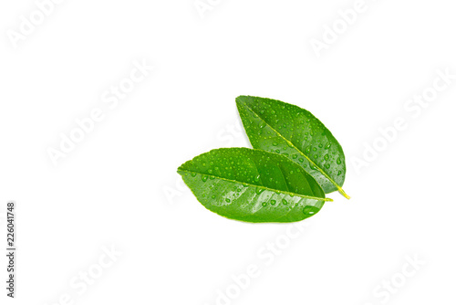 fresh green lemon leaves with water drops isolated on white background.lime leaf and green herbs for cooking and spa.