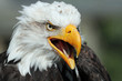 Close up of an American Bald Eagle