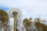 dandelion on a background of blue sky