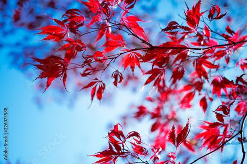 Japanese maple tree in autumn - 226075588