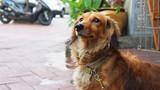 dachshund brown puppy