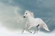 Beautiful white stallion in winter