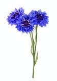 Blue cornflower bouquet isolated on white background - 226099320