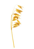 Ear of oats isolated on the white background - 226099360