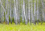 Birch grove - 226100393