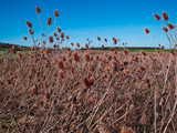 red colored and dry thistle field during autumn
